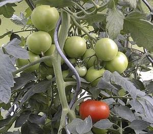 Gewächshaus kaufen Tomatengewächshaus Aufzucht
