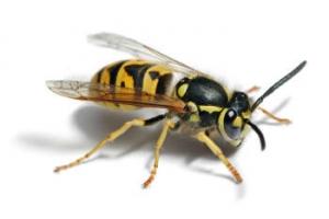 Wespen vertreiben aus Gartenhaus - Detailansicht Wespe